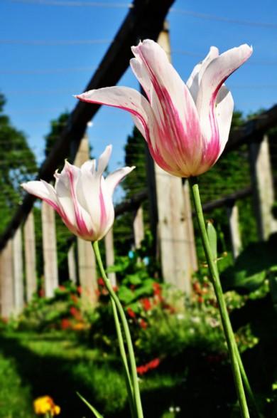 tulpen-susanne-sterkenburg