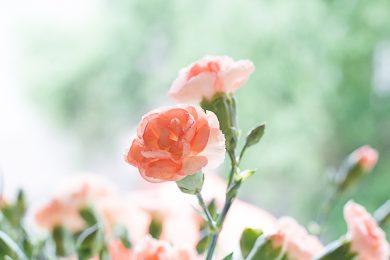 roze-anjer-susanne-sterkenburg