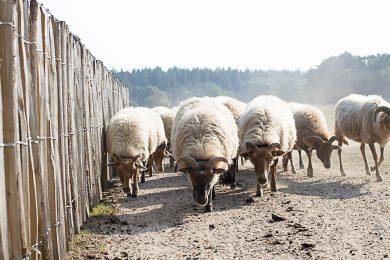 schapen-susanne-sterkenburg